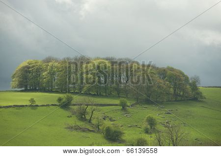 Copse Of Trees, Peak District