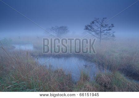 Pine Trees On Swamp In Dusk Mist