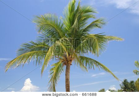 Florida Keys Palm Tree