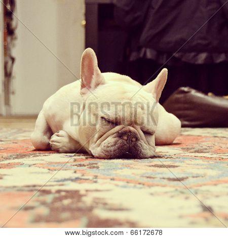Adorable French Bulldog Sleeping