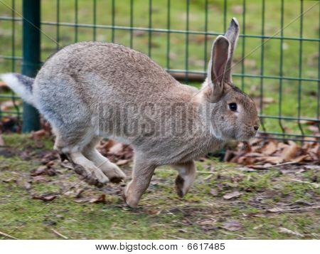 Grey Hare Running