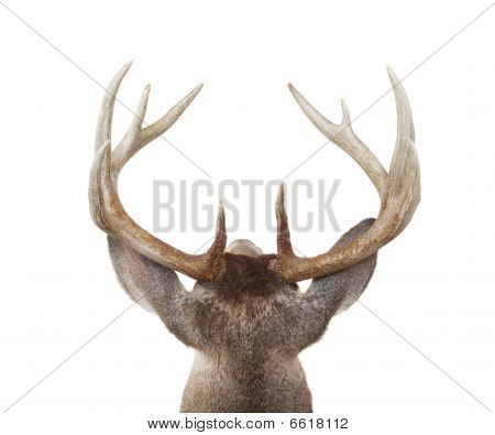 Whitetail Deer Head From Above And Behind