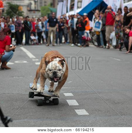 Tillman, the skateboarding English Bulldog