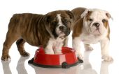 two nine week old english bulldogs puppies and a red dog food dish poster