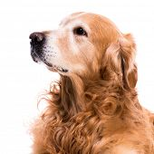 purebred golden retriever dog close-up   isolated on white background poster