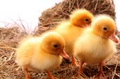 three small  yellow fluffy ducklings sleeps poster