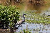 Tricolored Heron aka Louisiana Heron in the bayou. poster