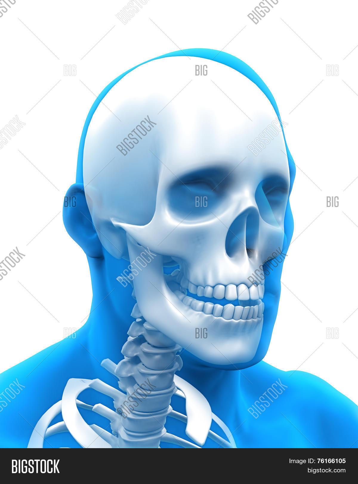 Human Skull Anatomy Image Photo Free Trial Bigstock