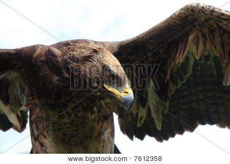 bird of prey-eagle