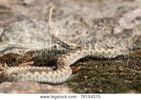 Young European Sand Viper