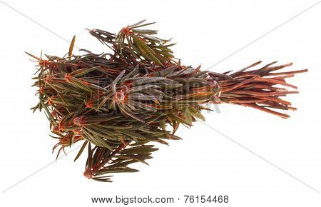 Labrador Tea Herb