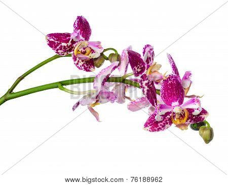 Blooming Twig Purple Pyloric Spotted With Bud Orchid, Phalaenopsis Is Isolated On White Background,