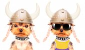 dog dressed up as a viking on a white background poster
