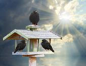 Three hungry birds on a wooden bird table in frosty day. poster