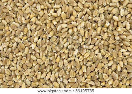 Seeds Of Hard Wheat