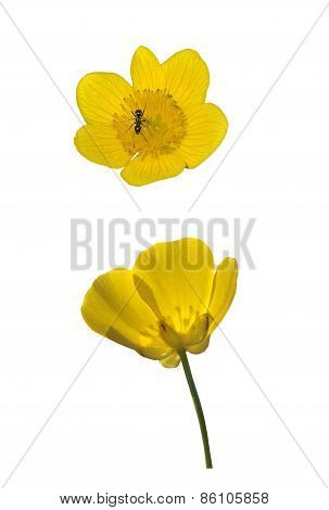 Buttercup And  Yellow Marsh Marigold