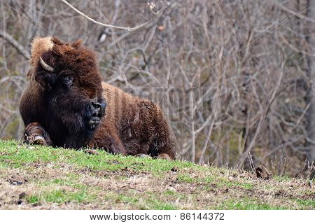Bison basking in the sun
