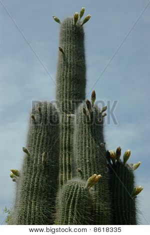Upper Part Of The Cactus Stems Closed-up