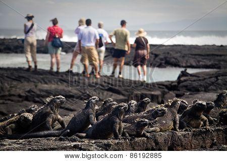 Marine iguanas in Fernandina island, Galapagos Islands
