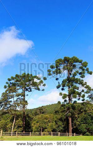 Araucaria Angustifolia (brazilian Pine), Brazil