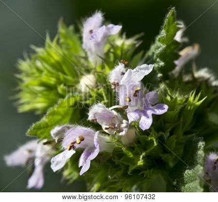 Herb Deadnettle