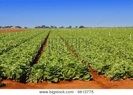 Lettuce field on a bright day