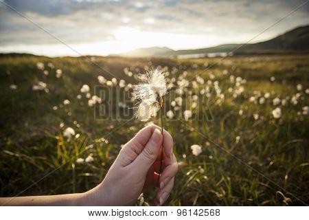 Hand Holding A Cotton Grass