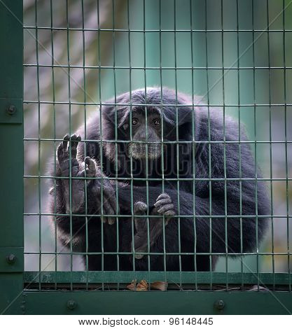 Siamang Monkey In A Cell