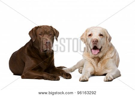 Two Labrador Dogs
