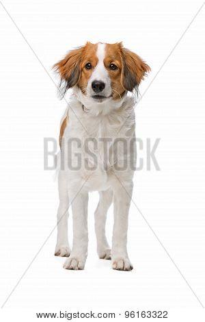 Brown And White Kooiker Dog