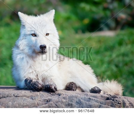 On a fall day a young arctic wolf is lying down. poster