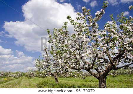 Blossoming Spring Apple Tree Industrial Orchard Garden