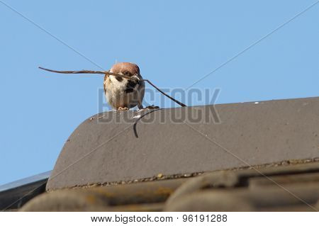 Male House Sparrow Collecting Material For Nesting