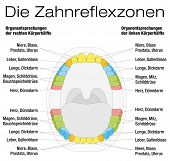 Teeth reflexology chart - permanent teeth and their corresponding internal organs. Isolated vector illustration over white background. GERMAN LABELING! poster