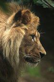 Barbary lion (Panthera leo leo), also known as the Atlas lion. Wildlife animal.  poster