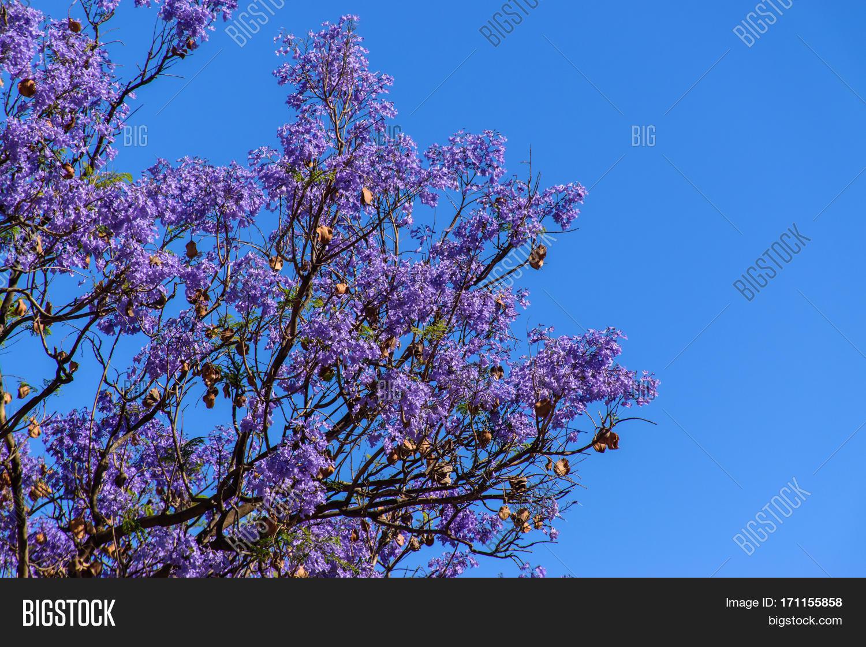 Lilac flowering trees breathtaking image photo bigstock lilac flowering trees breathtaking views beauty of nature izmirmasajfo