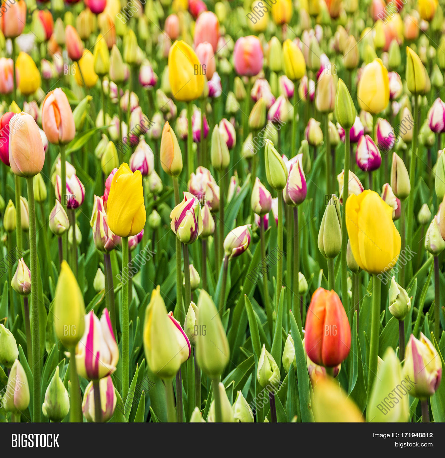 Tulip Field Flowers Spring Holland Image Photo Bigstock