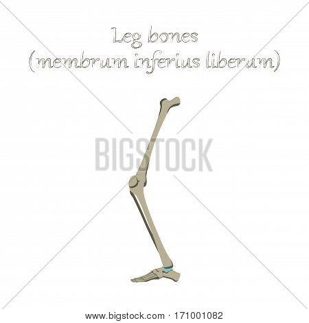 human organ icon in flat style leg bone