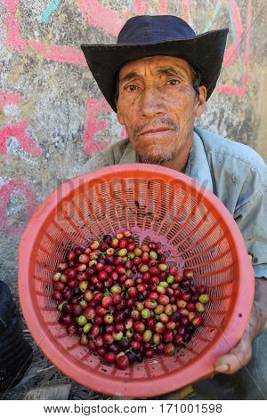 PIURA PERU - JUNE 28: View of Peruvian guy who shows a basket with coffee cherries near the city of Piura region called Jijili. In the north of Peru 2011.