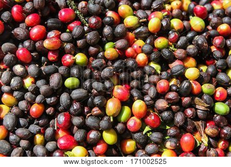 A detail view of coffee cherries captured near the city of Piura region called Jijili. In the north of Peru 2011.