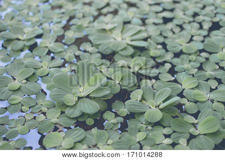 Duckweed can float on water. Green is beautiful