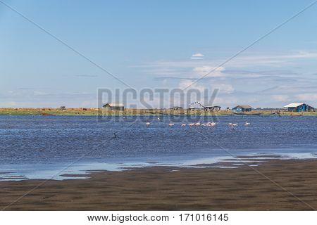 Chilean Flamingo at Lagoa do Peixe lake