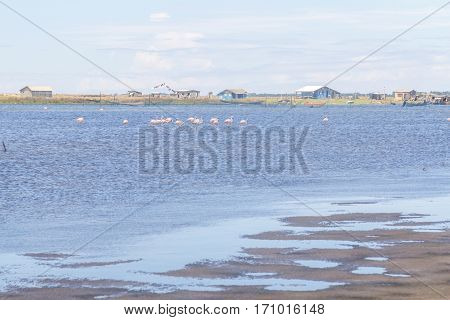 Group Of Chilean Flamingos