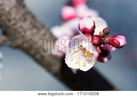 Beautiful fragrant apricot flower blossoming in spring