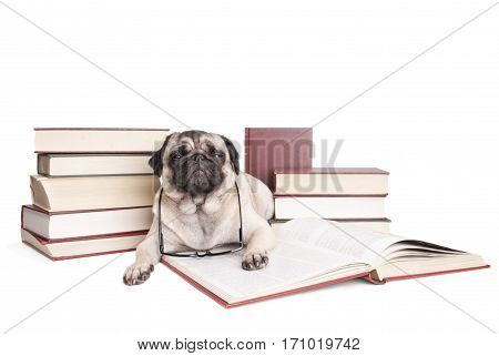 adorable pug puppy dog lying down and reading a book looking erudite with glasses around neck isolated on white background