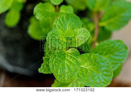 peppermint plant marsh mint plant or mentha cordifolia plant
