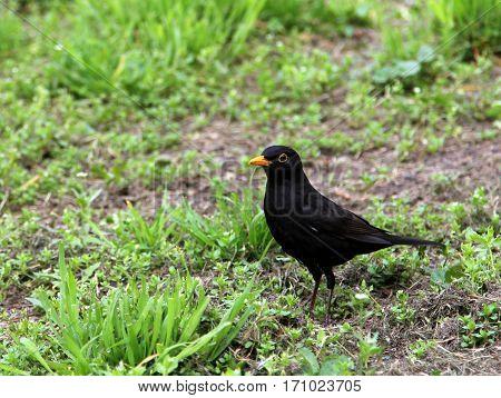 blackbird on the green grass closeup image