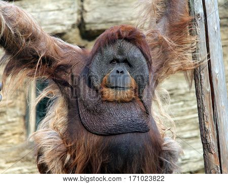 portrait of a male adult orangutan in zoo