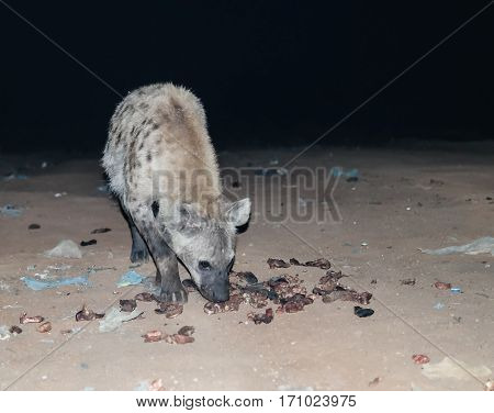 Feeding of spotted hyenas near Harar, Ethiopia