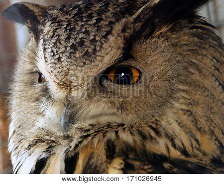 portrait of an eagle owl close up